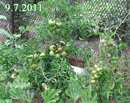 Tomaten im Freiland am 9.7.2011