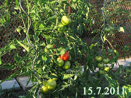 Tomaten am 15.7.2011