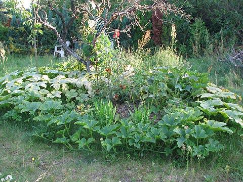 Kürbispflanze auf Terra-Preta-Beet