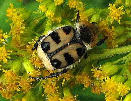 Gebänderter Pinselkaefer (Trichius fasciatus)