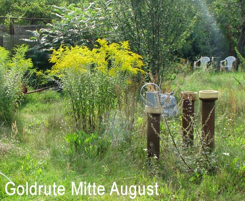Goldrute Mitte August