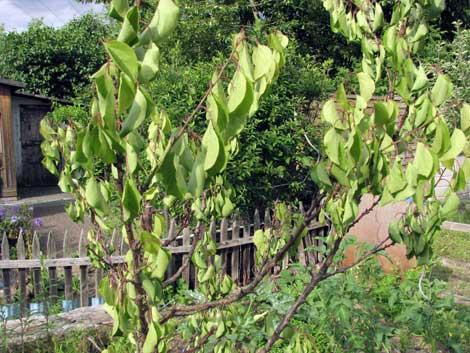 kranker Aprikosenbaum