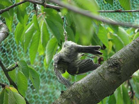 Vogeltod im Kirschbaumnetz
