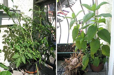 tomate + topinambur