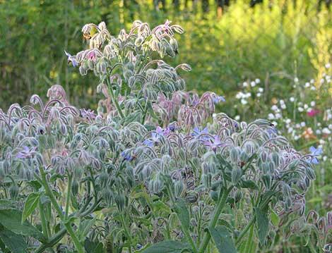 Borretsch - die Bienenweide