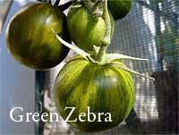 Green Zebra - CC Henry Steinbock - tomatl.net