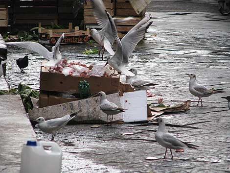 Möven auf dem Fischmarkt in Catania
