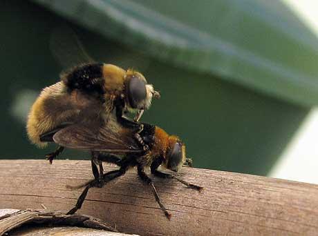 Schwebfliegen-Paarung