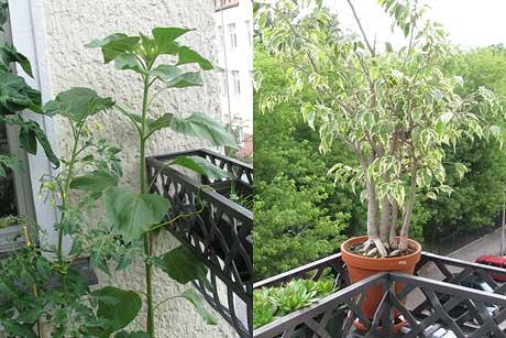 Sonnenblume und Ficus