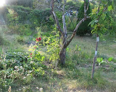 Neuer Kirschbaum neben Baumgerippe