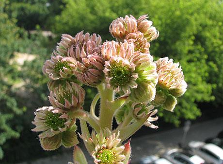 Sempervivum  Blüte