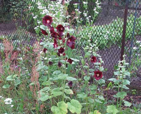 Stockrose schwarz-rot