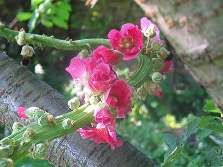 Stockrose im alten Garten