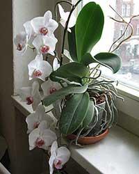 Orchidee ohne Ständer