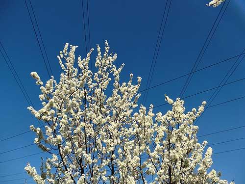 Pflaumenblüt