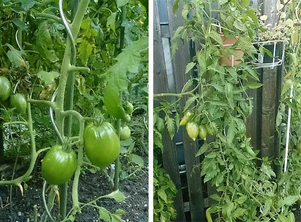 unbekannte Tomate