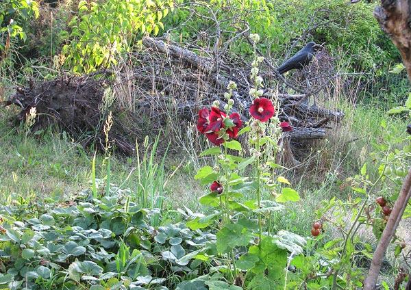 Stockrosen vor Totholzhaufen