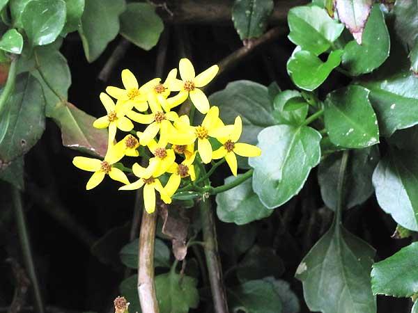 Blütendolde