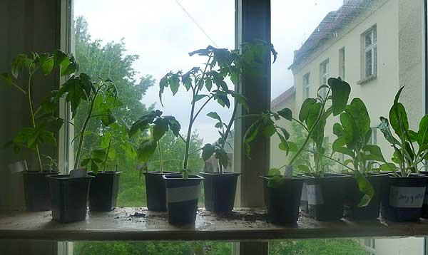 Tomaten und Mangold