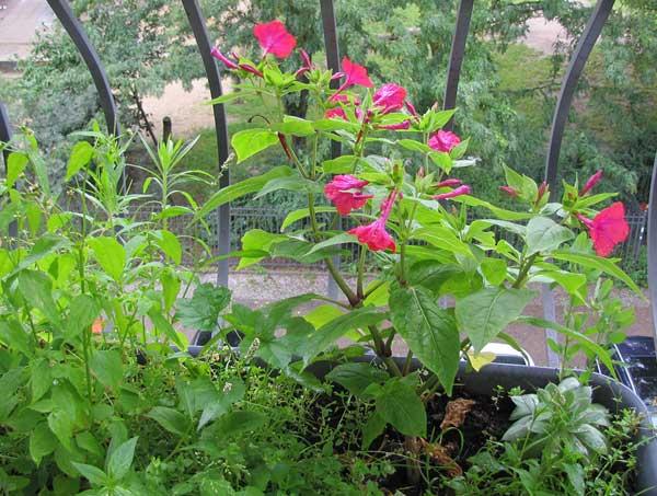 rote Wunderblume