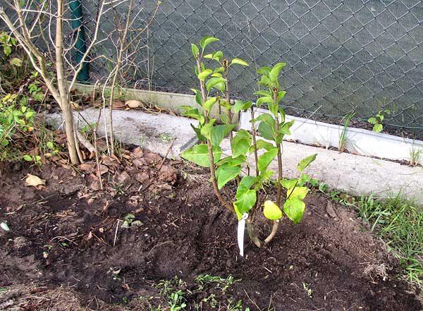Flieder frisch eingepflanzt
