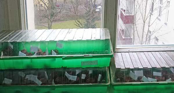 Tomaten vorziehen auf der Fensterbank