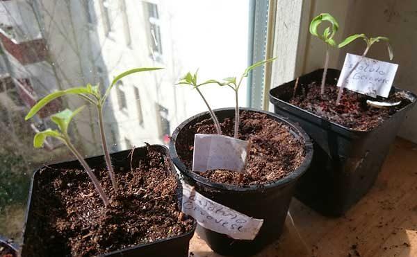 Tomatenkeimlinge