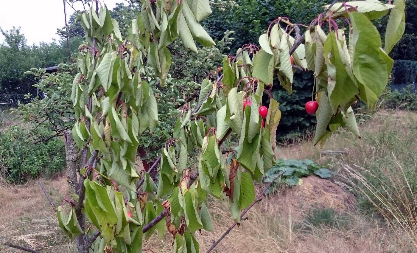 Super Kirschbaum lässt Blätter hängen und vertrocknet › Das wilde Gartenblog #UJ_74
