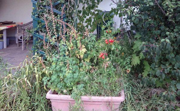 Herszgespann und Tomate