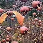 Mispelfrüchte im Winter