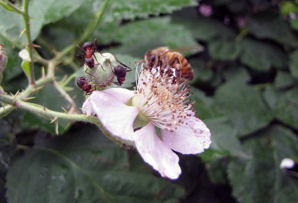 Waldameisen und Biene