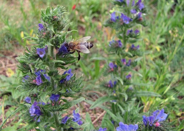 Biene auf Natternkopf