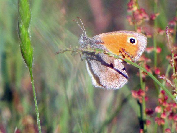 Schmetterlin Kleines Wiesenvögelchen