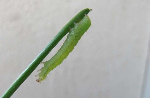 grüne Raupe