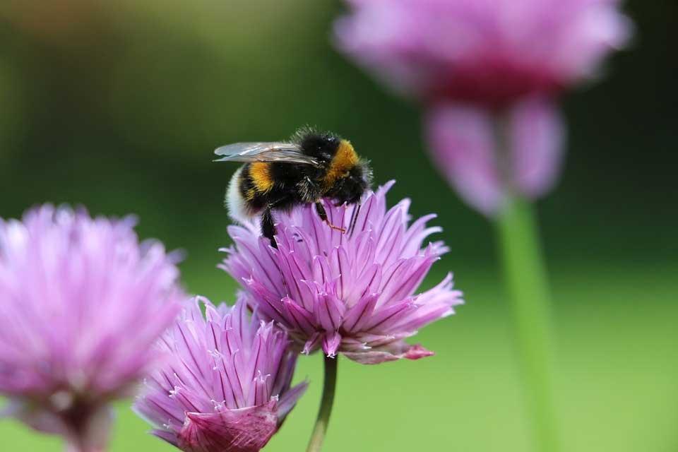 Vom Hummelsterben – und was man dagegen tun kann
