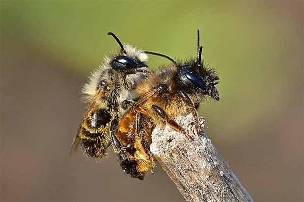 Paarung Wildbienen
