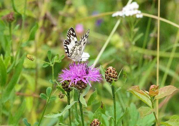 Schmetterling auf Blumenwiese