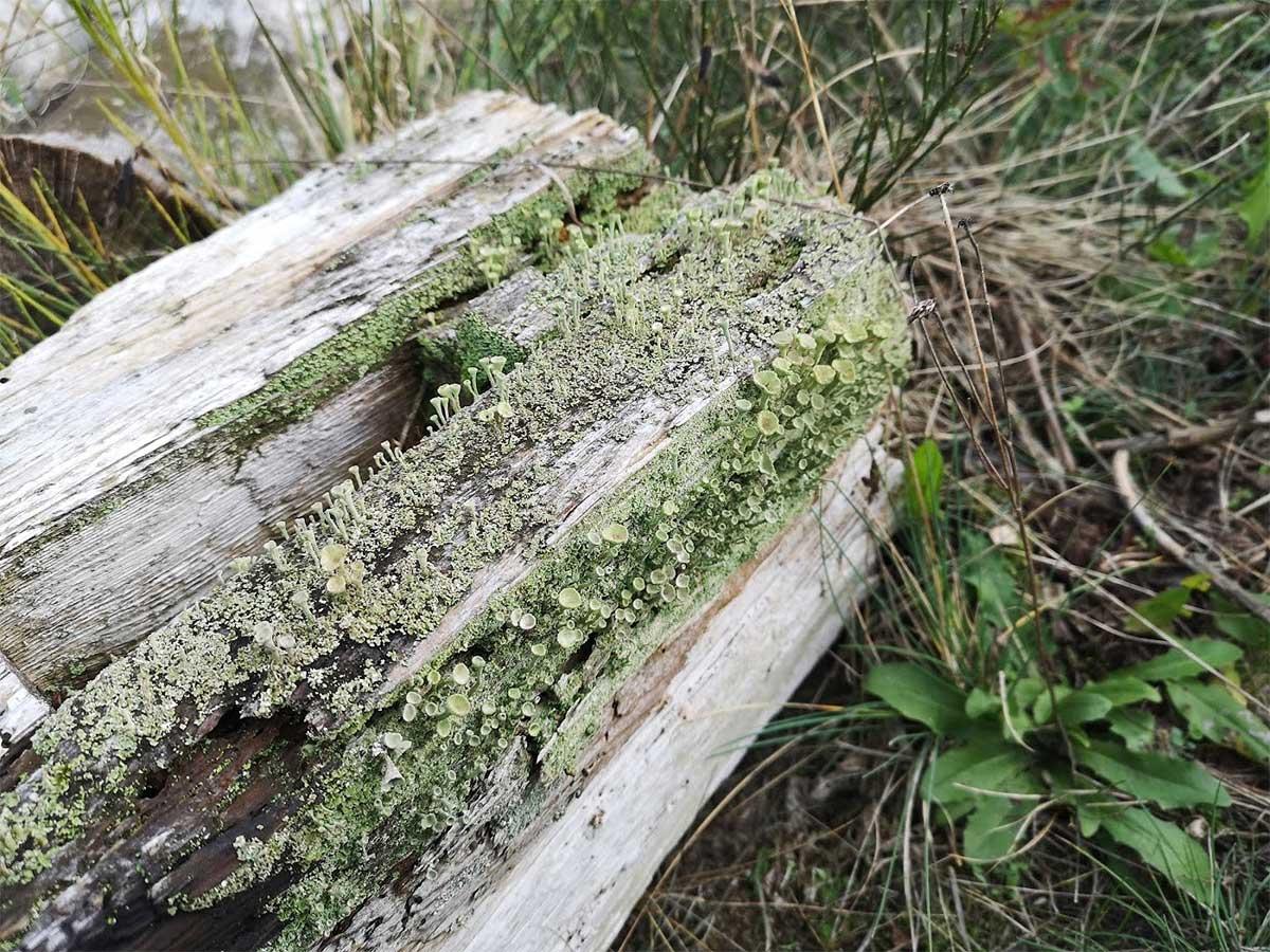 Trichterflechten am Totholz