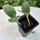 Kürbis-Jungpflanze