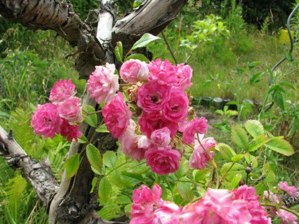 Super Dorothy Blüten