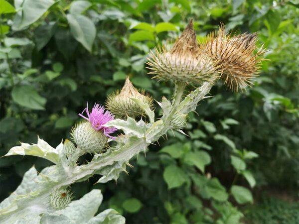Eselsdistel Blüte