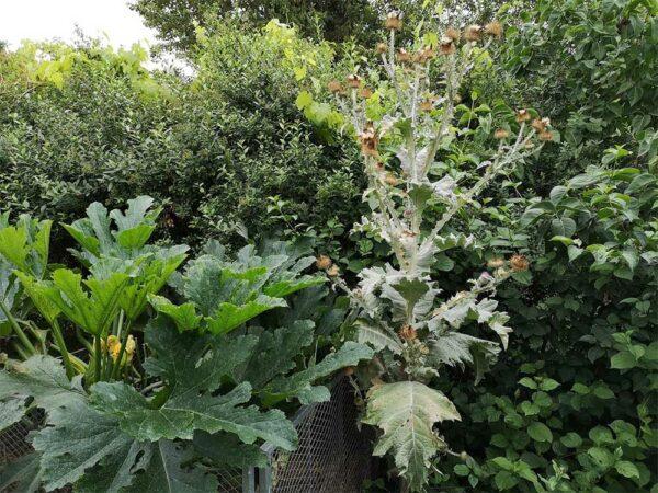 Zucchini und Eselsdistel
